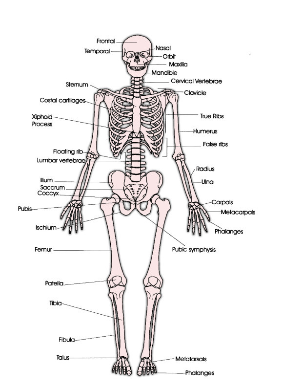 Skeletal System Diagram Test - DIY Wiring Diagrams •