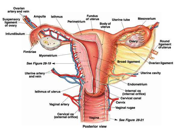 Reproductive System - josi\'s Anatomy and physiology
